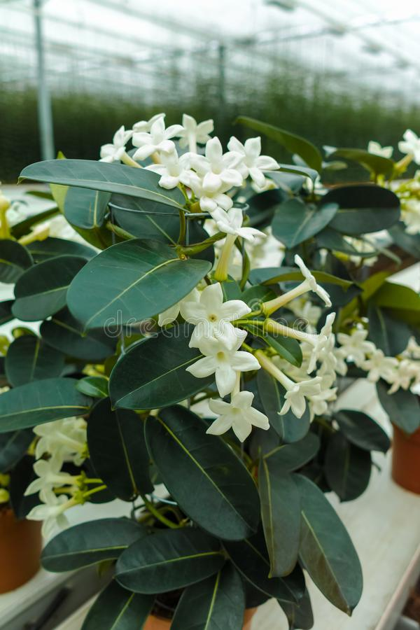 Stephanotis plant or Madagascar jasmine, cultivated as decorative or ornamental flower, popular element in wedding bouquets, grow royalty free stock photo