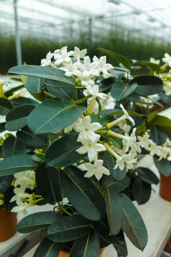 Stephanotisväxt eller Madagascar jasmin som odlas som decorativ royaltyfri foto