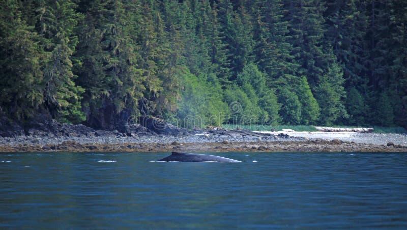 Stephens Passage Whale hålla ögonen på royaltyfria bilder