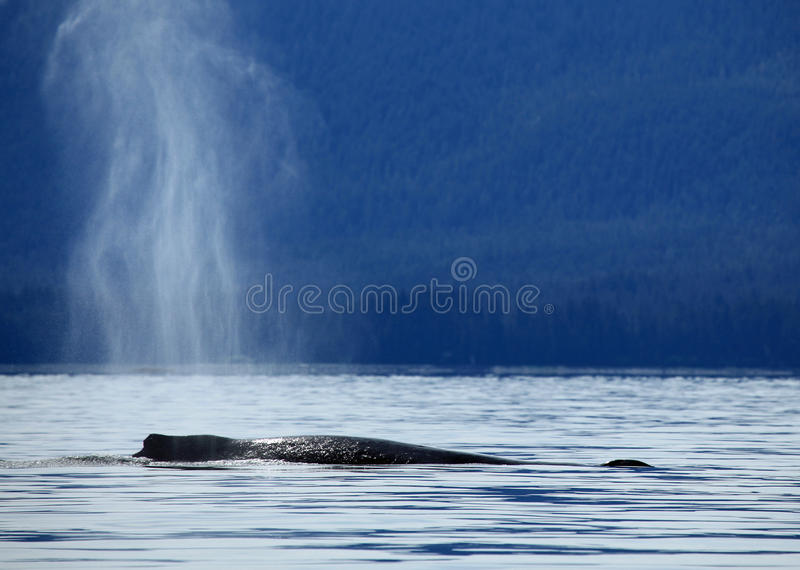 Stephens Passage Whale hålla ögonen på arkivbild