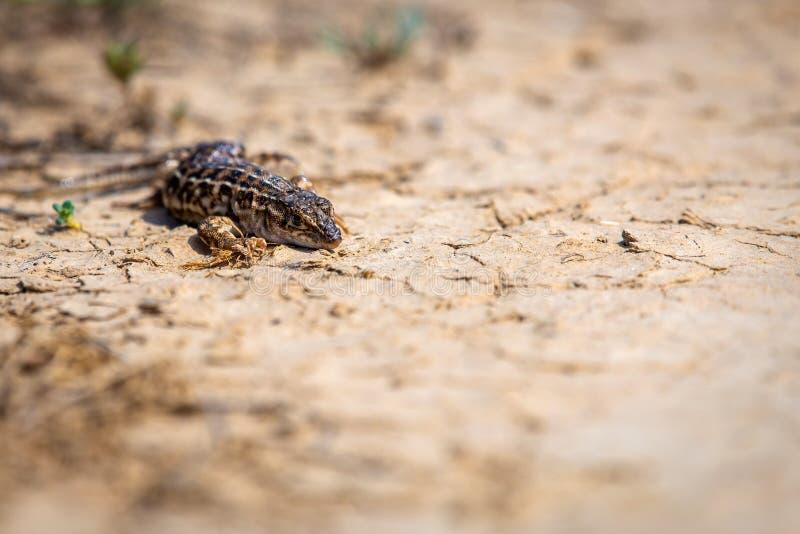 Stepowa biegacz jaszczurka lub Eremias arguta zamknięty na suchej ziemi fotografia stock