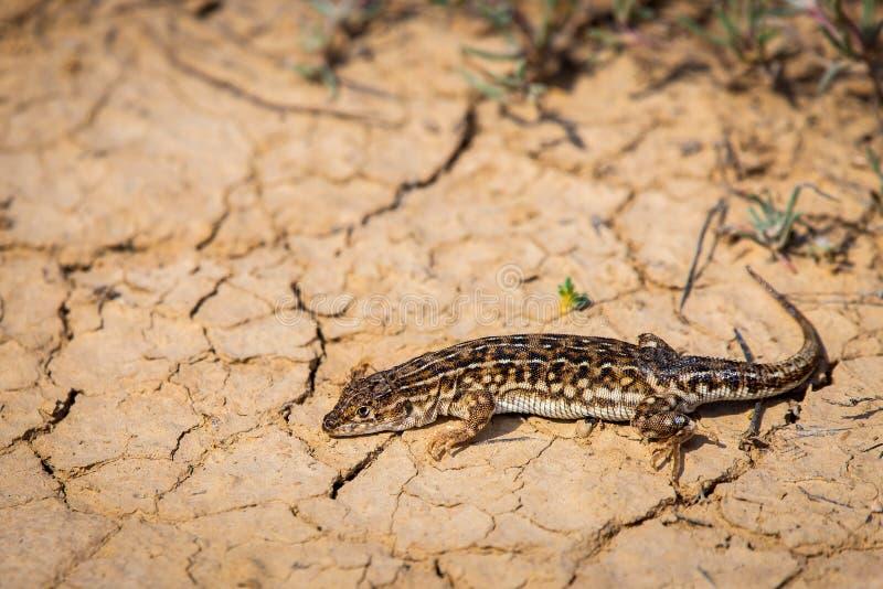 Stepowa biegacz jaszczurka lub Eremias arguta zamknięty na suchej ziemi zdjęcia stock