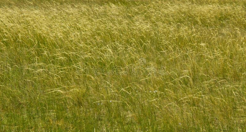 Stepowa trawa tworzy filigree wzór przy drobnym oddechem wiatr obraz stock