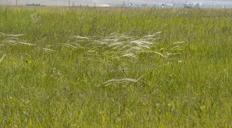 Stepowa trawa tworzy filigree wzór przy drobnym oddechem wiatr obrazy stock