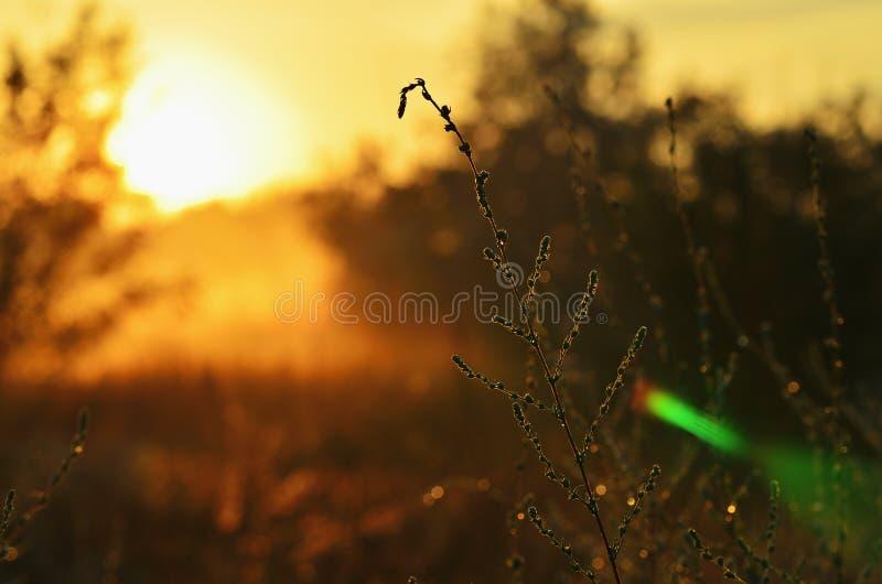 Stepowa trawa w górę, ranku światło słoneczne na trawie obraz royalty free
