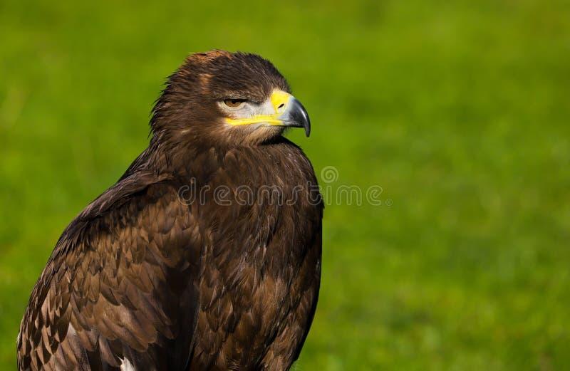 Stepowy Eagle Aquila nipalensis ptak zdobycz zdjęcia stock