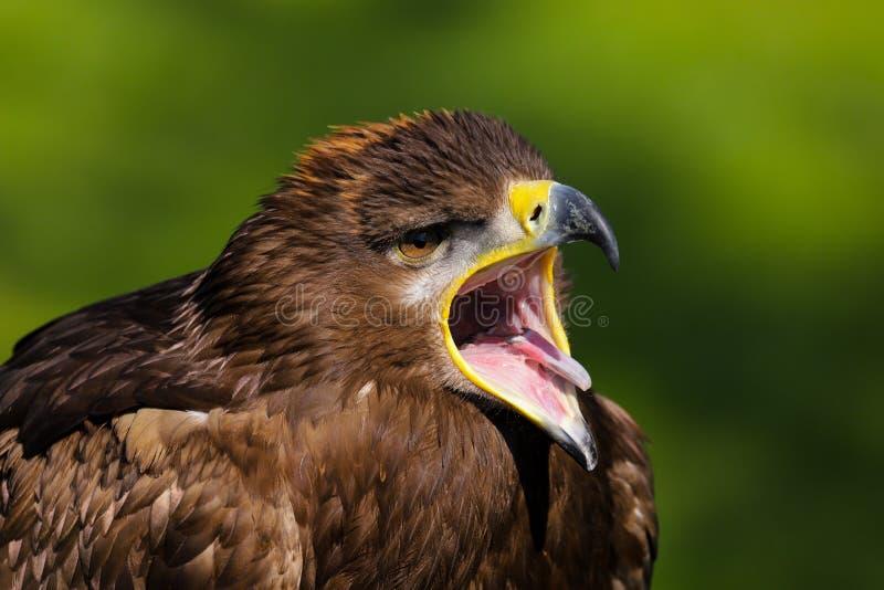 Stepowy Eagle Aquila nipalensis ptak zdobycz obraz stock