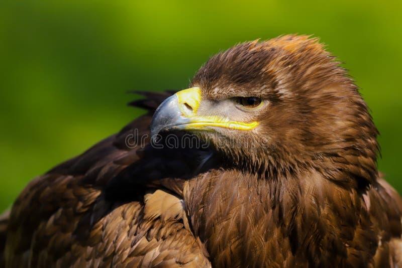 Stepowy Eagle Aquila nipalensis ptak zdobycz fotografia stock