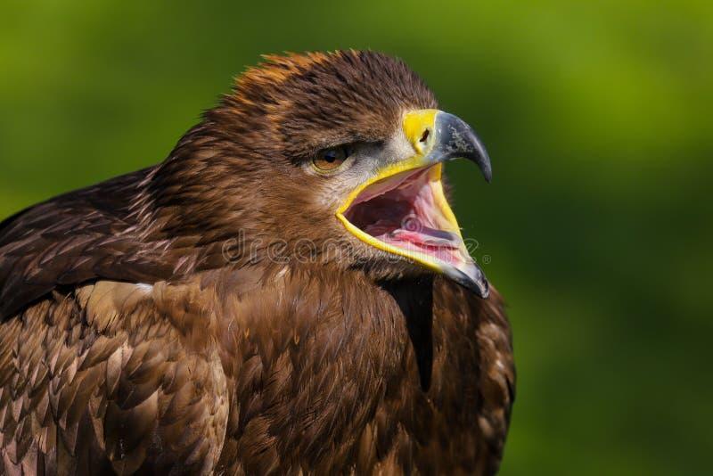 Stepowy Eagle Aquila nipalensis ptak zdobycz zdjęcia royalty free