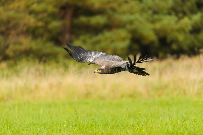 Stepowy Eagle latanie nad ziemia zdjęcia stock