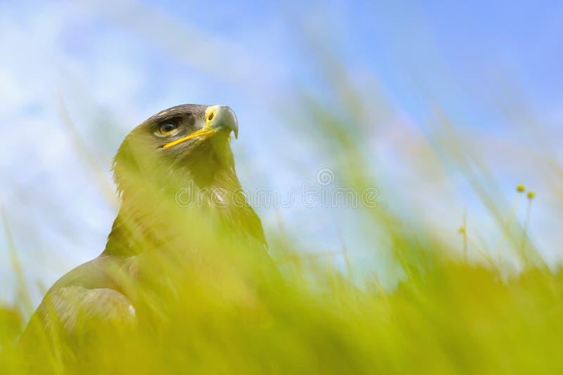 Stepowy Eagle obsiadanie w polu fotografia stock