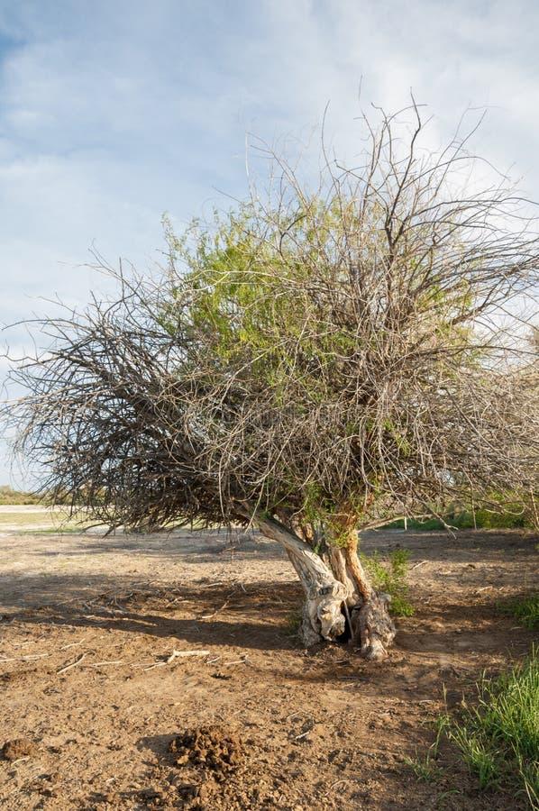 steppe Árvore só saline Umidade e general Treeless, pobres fotografia de stock royalty free