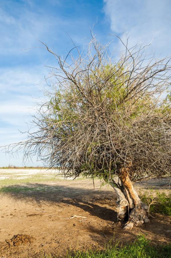 steppe Árvore só saline Umidade e general Treeless, pobres imagem de stock royalty free