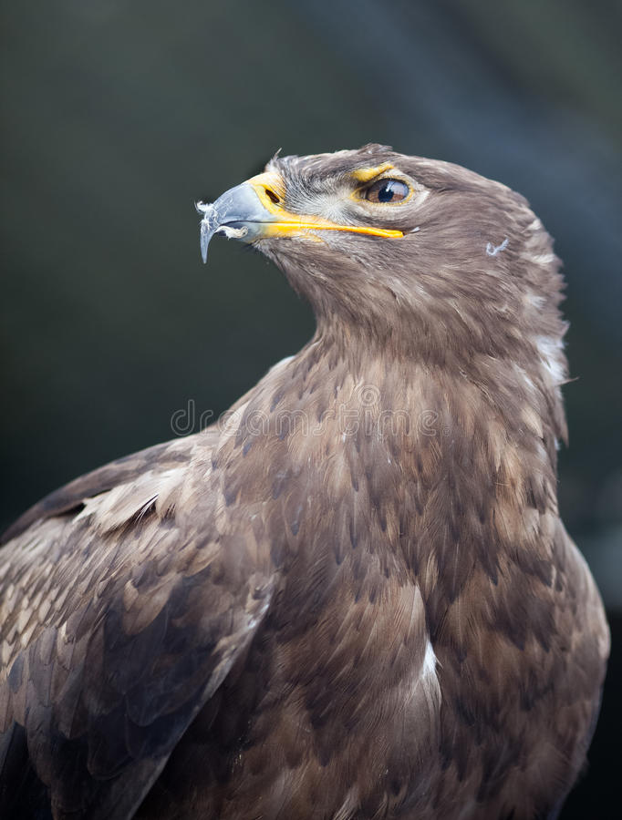 Steppe eagle -. Close-up portrait of this majestic bird of prey stock image