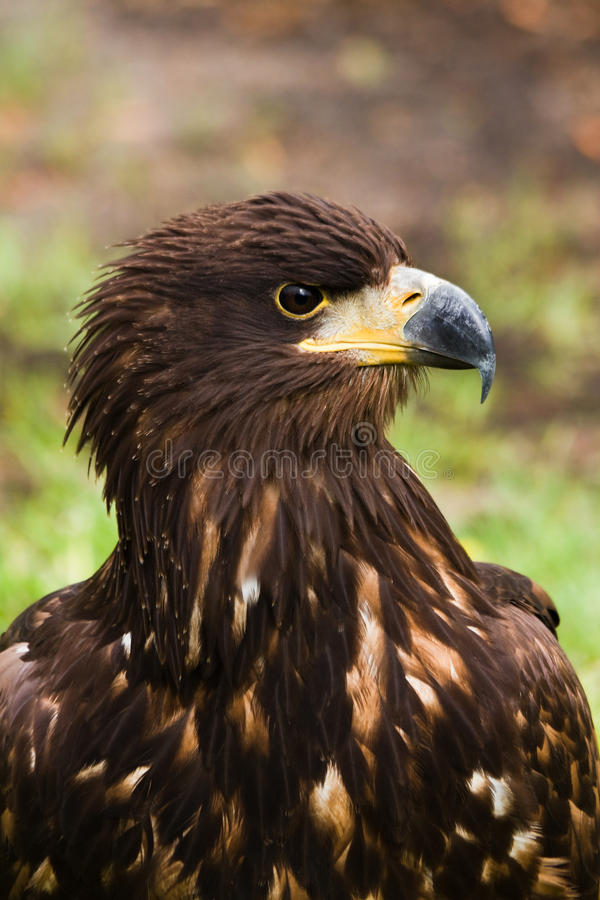 Download Steppe Eagle Stock Images - Image: 14373754