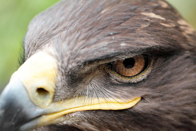 Steppe Eagle. The Steppe Eagle is a bird of prey stock images