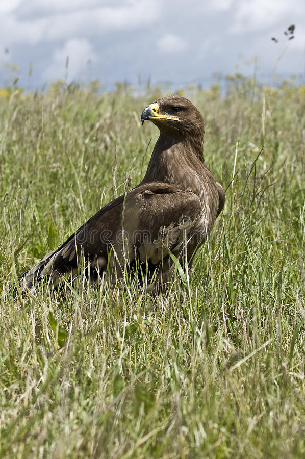 Steppe Eagle. (Aquila Nipalensis) in grass stock images