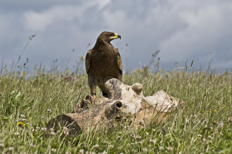Steppe Eagle. (Aquila nipalensis) on Log royalty free stock photography
