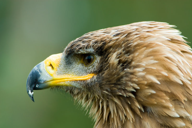 Steppe Eagle. Cose-up of a steppe eagle (Aquila nipalensis royalty free stock images
