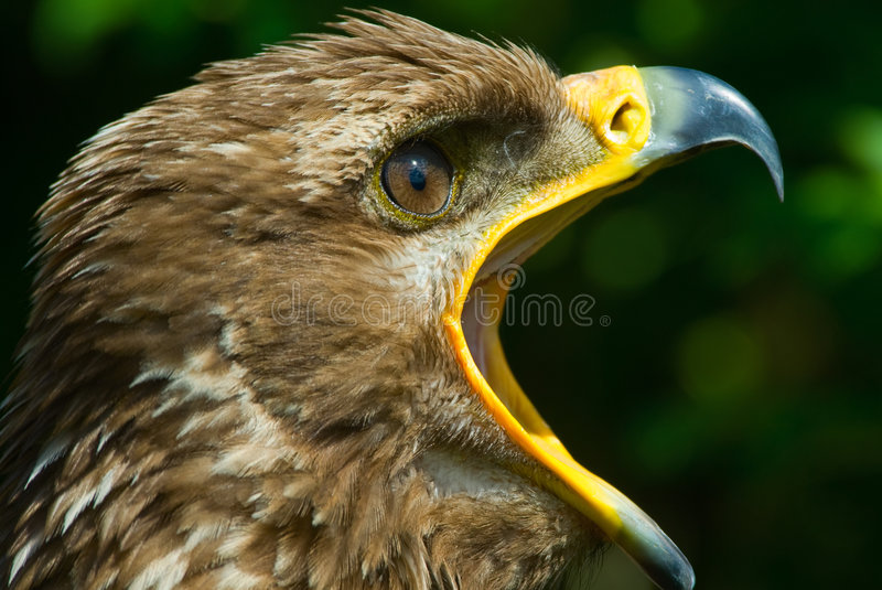Download Steppe Eagle Stock Photos - Image: 5635403