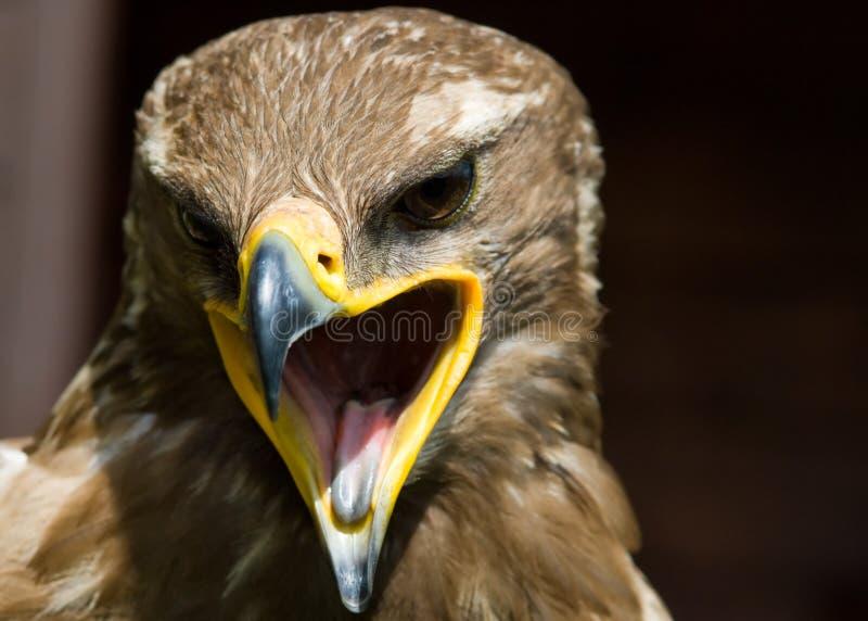 Steppe eagle. Close-up of a steppe eagle (Aquila nipalensis stock photography