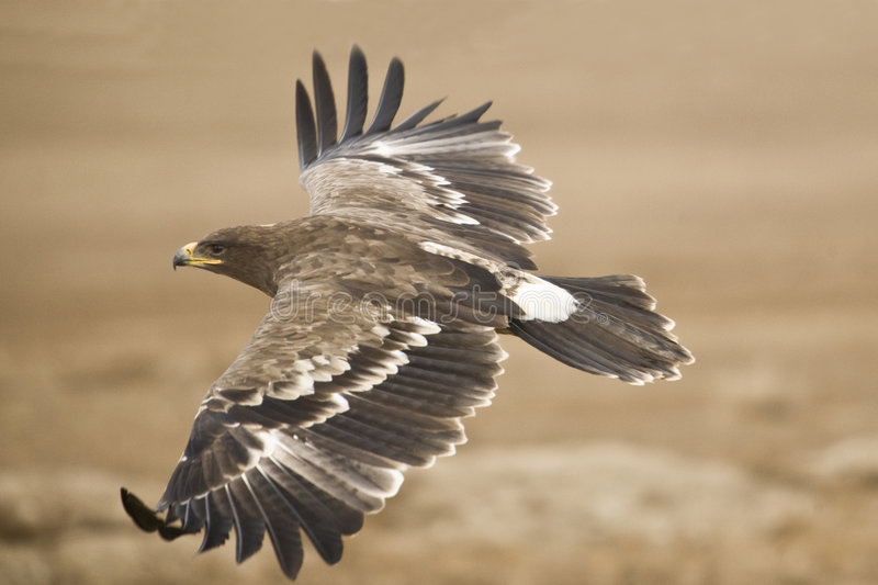 The Steppe Eagle. Flying close to the ground searching for pray