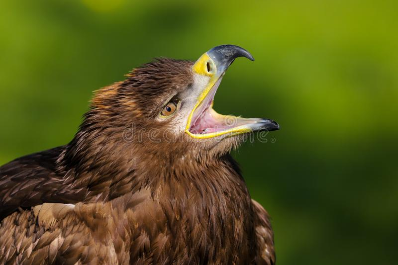 Steppe Eagle aquila nipalensis Bird of Prey royalty free stock images