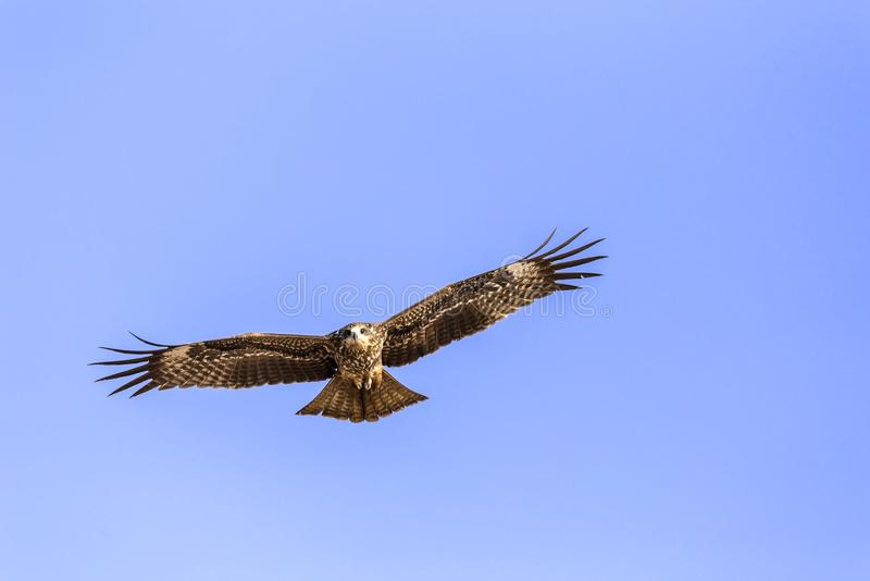 The steppe eagle. Aquila nipalensis - in flight over a beach in Goa, India stock photo