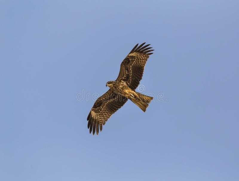 The steppe eagle. Aquila nipalensis - in flight over a beach in Goa, India royalty free stock photography