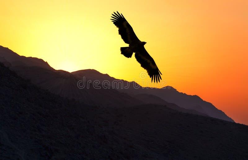 Steppe Eagle Aquila nipalensis flying along mountain ridge. At sunset, Uzbekistan royalty free stock image