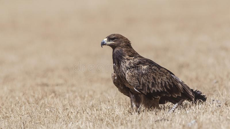 Steppe Eagle on Prairie. Steppe eagle, Aquila nipalensis, is landfing on meadow looking around in Oromia, Ethiopia, Africa royalty free stock photography
