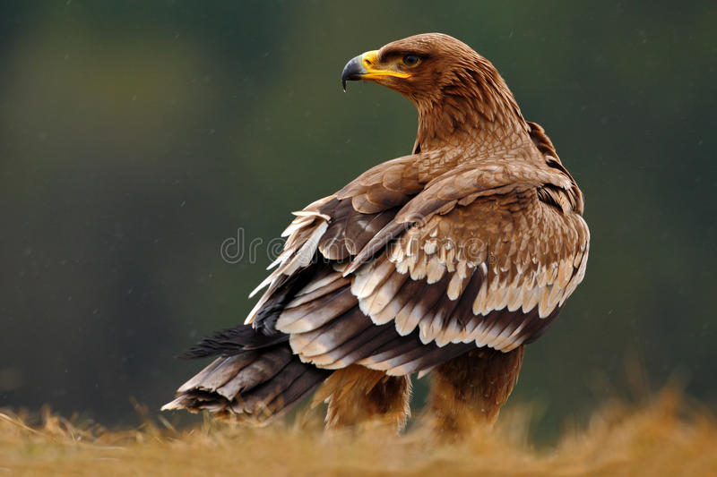 Steppe Eagle, Aquila nipalensis, sitting in the grass on meadow, forest in background, Norway royalty free stock images