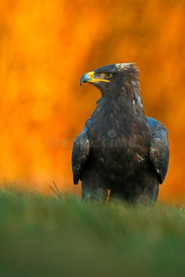Steppe Eagle, Aquila nipalensis, sitting in the grass on meadow, orange autumn forest in background, Sweden royalty free stock photography