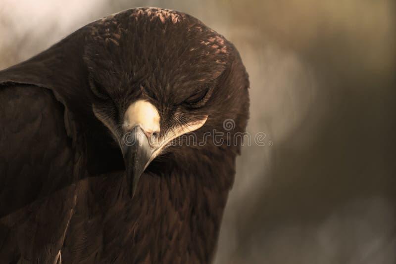 The Steppe Eagle. Is a bird of prey stock photos