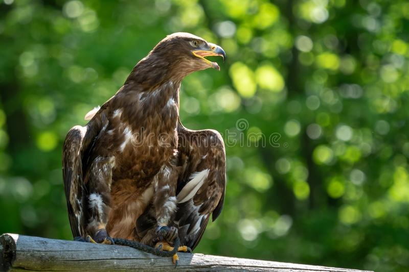 The steppe eagle is a bird of prey. Aquila rapax royalty free stock images