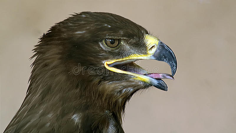 Steppe Eagle. The  is a bird of prey. Like all eagles, it belongs to the family Accipitridae stock photo