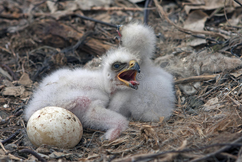 Steppe eagle chicks. Nest of the steppe eagle, Russia stock photography