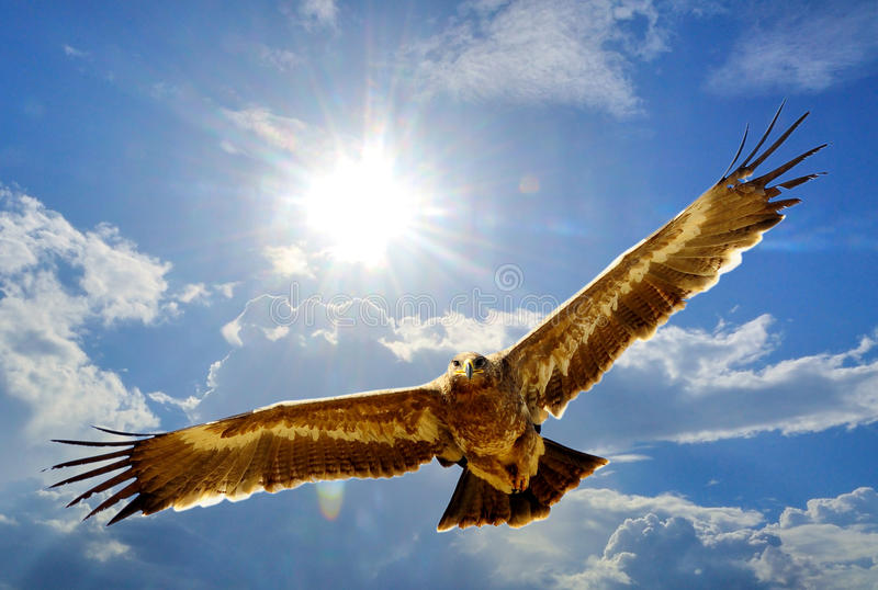 Steppe Eagle. Eagles ( Steppe Eagle ) flying in the sky Backdrop stock photos