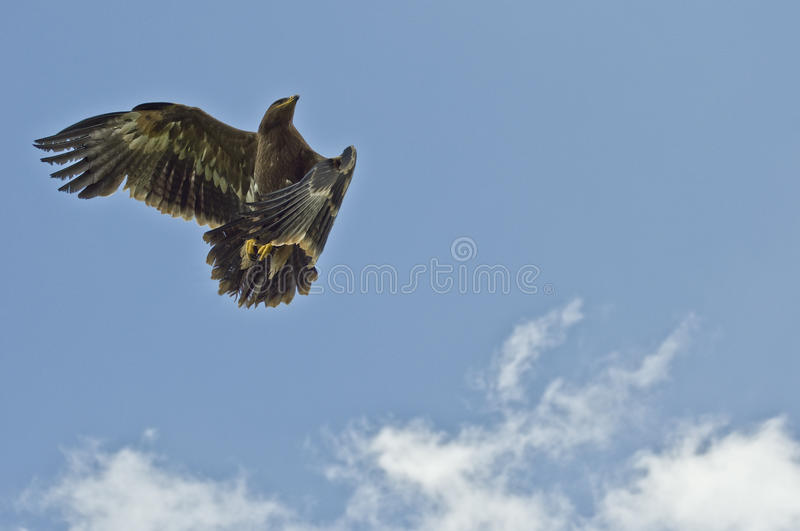 Download Steppe Eagle In Flight Royalty Free Stock Photo - Image: 25392695