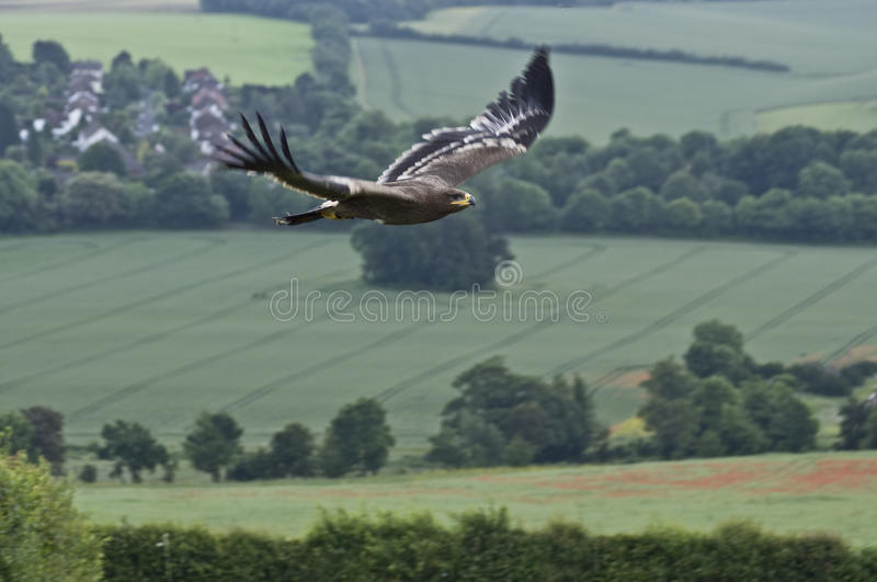 Steppe Eagle in Flight. Steppe Eagle (Aquila nipalensis) in flight royalty free stock photos