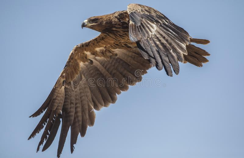 Steppe Eagle in flight. Steppe eagle, Aquila nipalensis, is flying in a clear blue sky in Oromia, Ethiopia, Africa royalty free stock photo
