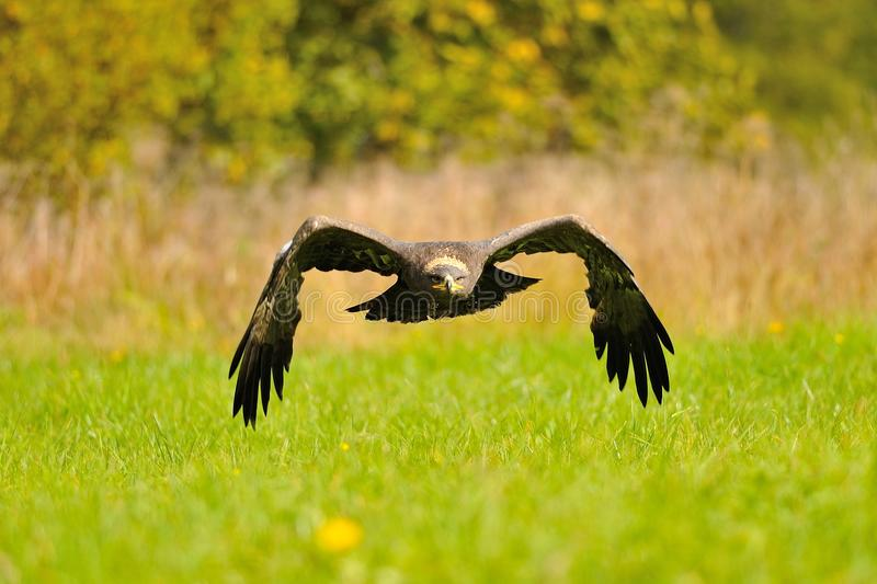 Steppe Eagle flying above the ground royalty free stock photography