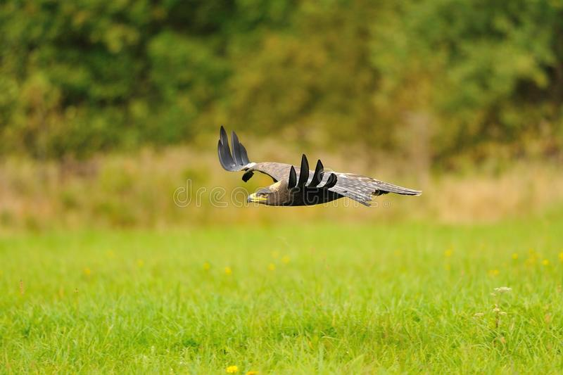 Steppe Eagle flying above the ground stock photo