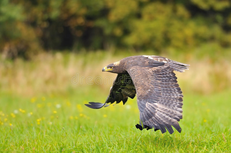 Steppe Eagle flying above the ground. Steppe Eagle flying above the green field stock photography