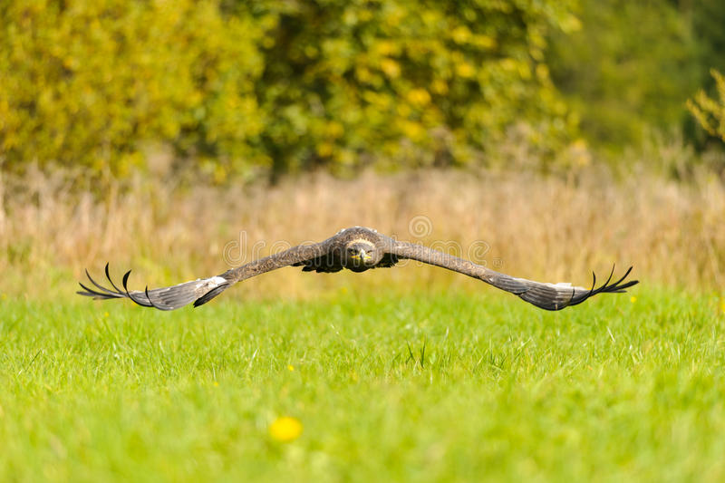 Steppe Eagle flying above the ground royalty free stock photo