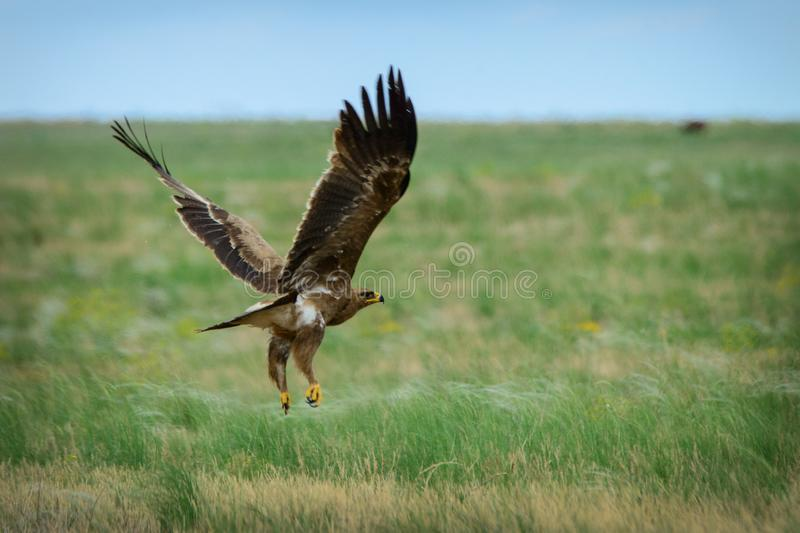 Steppe eagle flying. At the Chyornye Zemli Nature reserve, Kalmykia, Russia royalty free stock image