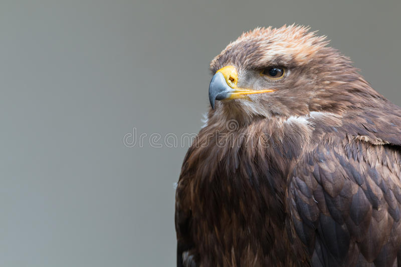 Steppe eagle. Looking into the camera royalty free stock image