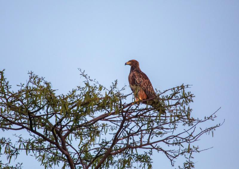 Steppe eagle at the Nxai Pan Nationalpark in Botswana. During summer royalty free stock photography