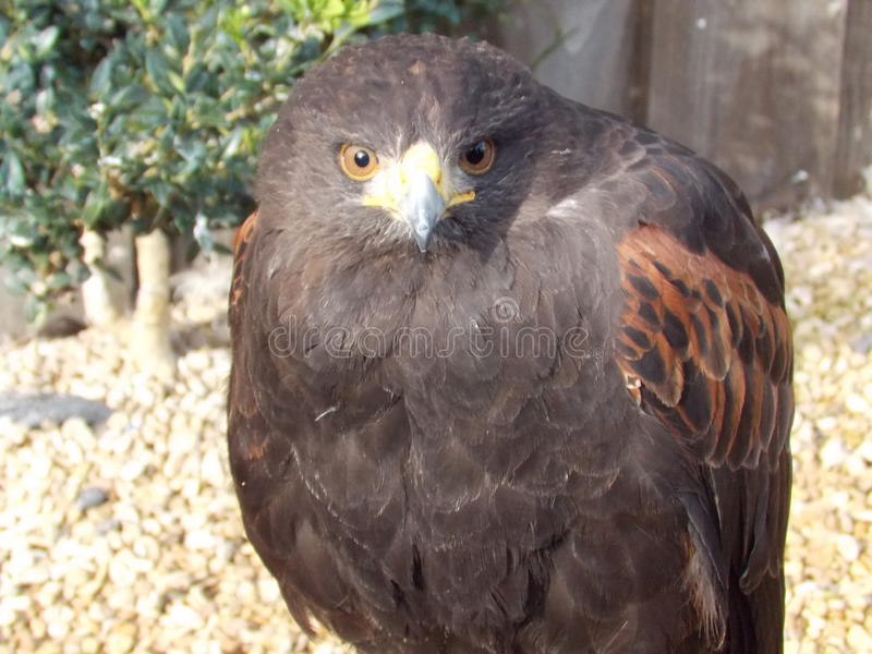 Steppe Eagle. With piercing eyes stock images