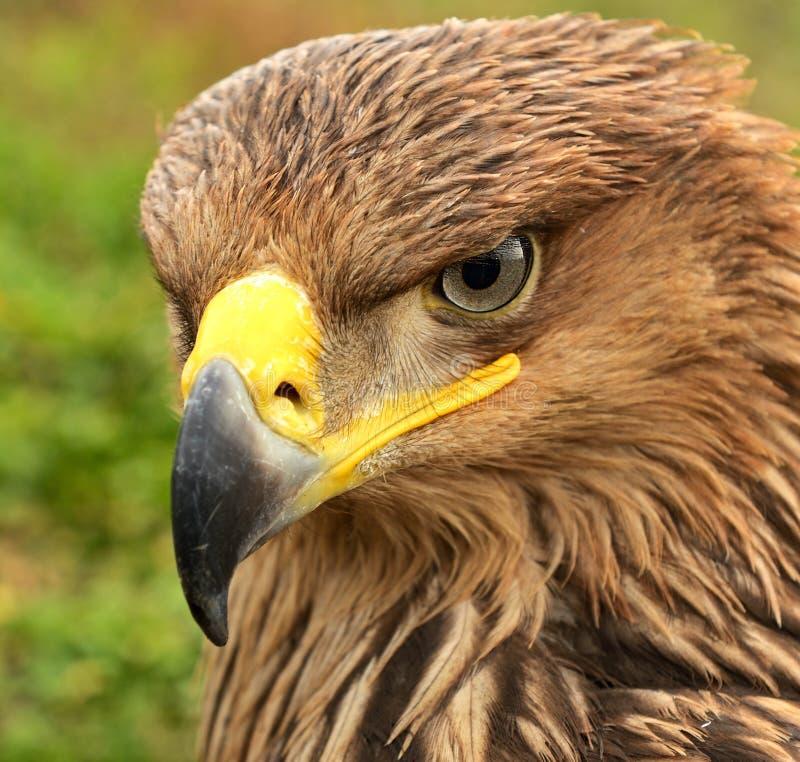 Steppe eagle. Portrait of a steppe eagle royalty free stock photo